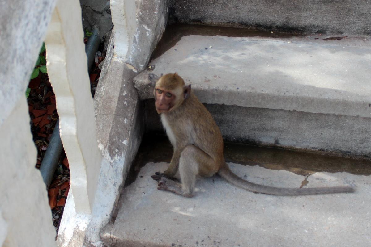 Обезьяны храма Khao Chong Krajok