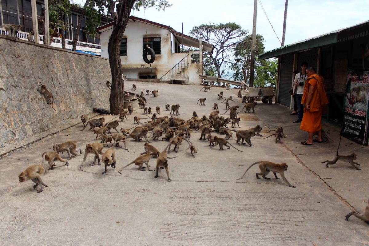 Голодные обезьяны Хуахина